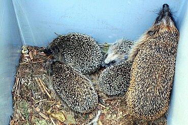Sechs Jungigel mit Mutter ziehen zur aktion tier-Eichhörnchenhilfe nach Teltow.