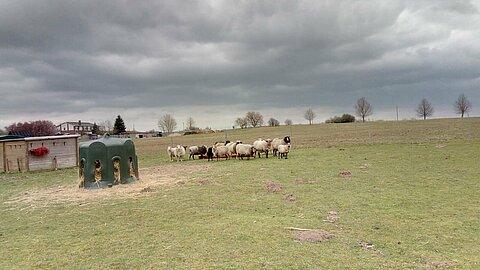 Schafherde auf dem aktion tier Lottihof