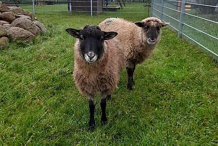 Überraschung bei unseren neuen Schafen
