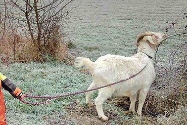 Winterspaziergang mit den Ziegen vom Lottihof