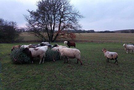 Die Schafe beim Knabbern an den Weihnachtsbäumen