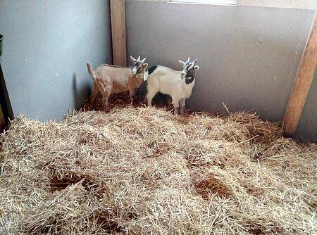 Gerettete Ziegen im Stall